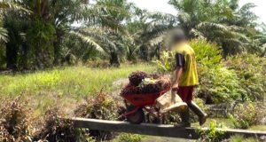 A child transporting a wheelbarrow full of heavy palm fruit bunches over a narrow bridge on a plantation in North Sumatra. © Amnesty International / WatchDoc