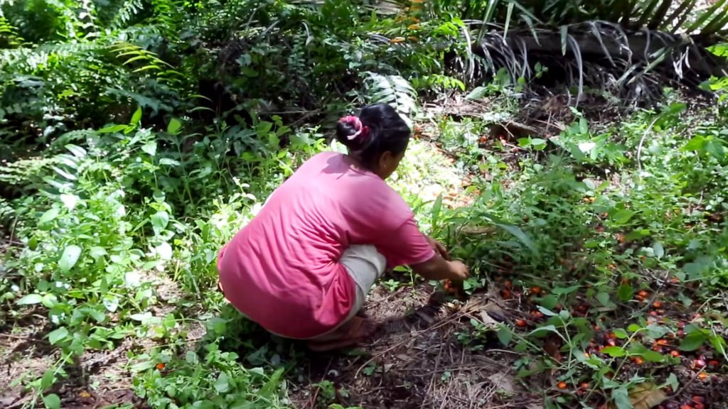 A woman with her back to the camera and wearing a pink tshirt kneels in foliage on a palm oil plantation, collecting loose fruit.