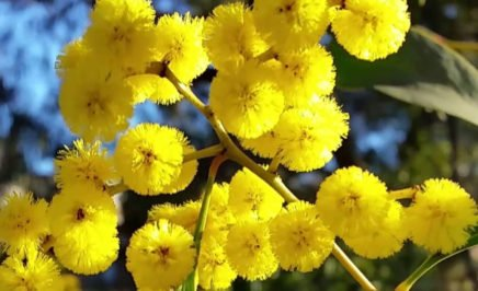 Australia's national flower, the Golden Wattle © Wattle Day Association / Terry Fewtrell
